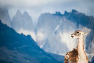 グアナコとパタゴニアの岩峰群の写真素材 [FYI03365183]