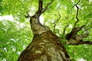 新緑のブナ巨樹 見上げるの写真素材 [FYI03365260]