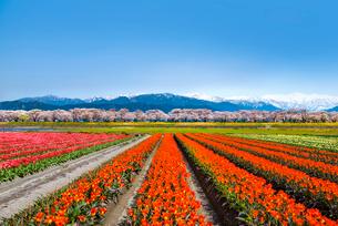 チューリップ畑と桜並木と残雪の北アルプスの写真素材 [FYI03365294]