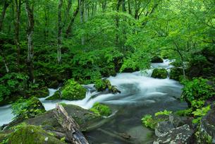 小雨がしたたる新緑の奥入瀬渓流 阿修羅の流れの写真素材 [FYI03365304]
