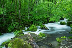 小雨がしたたる新緑の奥入瀬渓流 阿修羅の流れの写真素材 [FYI03365312]