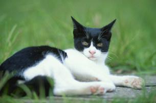 草原で寝転ぶ猫の写真素材 [FYI03367321]