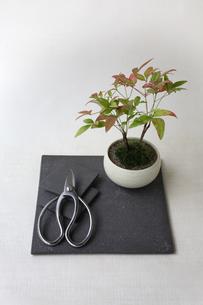 盆栽と剪定バサミの写真素材 [FYI03367881]
