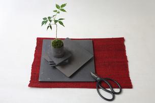 盆栽と剪定バサミの写真素材 [FYI03367886]