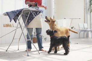 アイロンがけをする女性と犬2匹の写真素材 [FYI03367987]