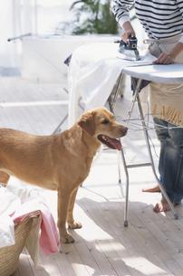 アイロンをかける女性と犬の写真素材 [FYI03367997]