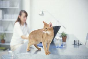 パソコンに向かう女性とデスク上の猫の写真素材 [FYI03368053]