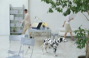 歩く男女と犬(ダルメシアン)の写真素材 [FYI03368244]