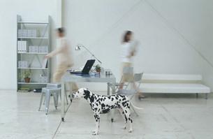 歩く男女と犬(ダルメシアン)の写真素材 [FYI03368258]