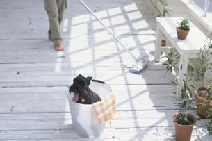 掃除をする女性と犬の写真素材 [FYI03368278]