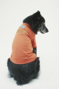 オレンジのTシャツを着た犬(雑種)の写真素材 [FYI03368545]