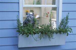 ネコと窓辺を飾るハーブのプランターの写真素材 [FYI03368857]