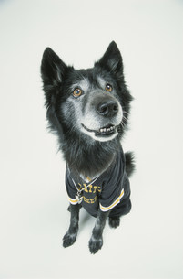 ユニフォームを着た犬(雑種)の写真素材 [FYI03369008]