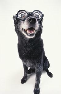 眼鏡をかけた黒い犬の写真素材 [FYI03369017]