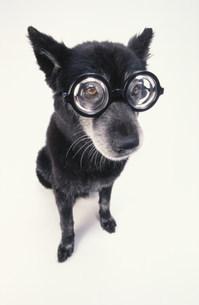 眼鏡をかけた黒い犬の写真素材 [FYI03369018]