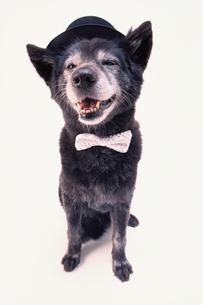 蝶ネクタイと黒い帽子を被った黒い犬の写真素材 [FYI03369027]