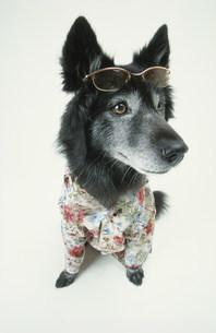 サングラスにアロハシャツの黒い犬の写真素材 [FYI03369028]