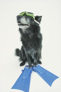 ゴーグルとフィンをつけた犬(雑種)の写真素材 [FYI03369037]