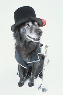 黒い帽子をかぶった犬の写真素材 [FYI03369045]