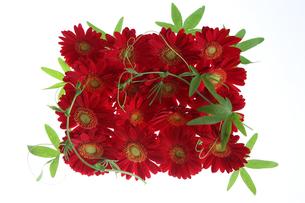 赤いガーベラの敷詰めの写真素材 [FYI03369180]