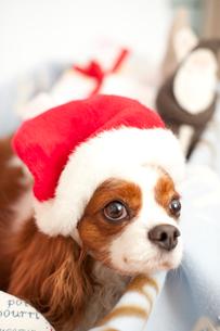 サンタクロースの帽子をかぶる犬の写真素材 [FYI03369322]