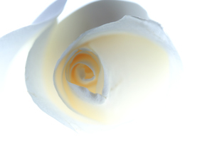 バラの写真素材 [FYI03369332]