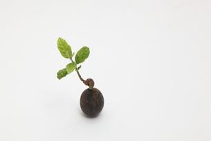 クヌギの発芽の写真素材 [FYI03369496]