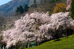 茶畑と池田山の枝垂れ桜の写真素材 [FYI03369738]