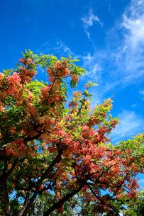 シャワーツリーの美しい花と青空のハワイの写真素材 [FYI03369750]