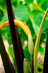 水田に作付けされた里芋の葉と里芋の花の写真素材 [FYI03369760]