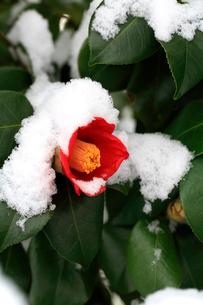 新雪の重みに耐えて咲いてる紅色が綺麗な椿の花の写真素材 [FYI03369776]