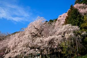 青空を背景に爛漫に咲き誇る霞間ヶ渓公園の枝垂れ桜の写真素材 [FYI03369777]