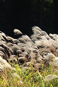 暗い背景をバックに秋の日差しと風にゆれるススキの穂の写真素材 [FYI03369790]