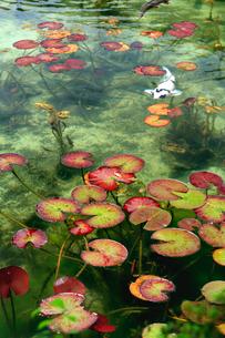 湧き水が美しいモネの池を回遊する白い錦鯉と睡蓮の葉の写真素材 [FYI03369792]