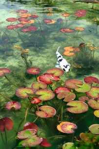 湧き水が美しいモネの池を回遊する白い錦鯉と睡蓮の葉の写真素材 [FYI03369793]