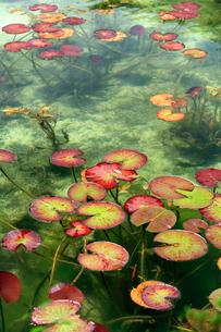 湧き水が美しいモネの池と睡蓮の葉の写真素材 [FYI03369794]