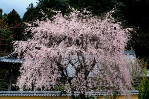 寺院を背景に咲く枝垂れ桜の写真素材 [FYI03369806]
