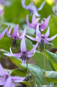 カタクリの花の写真素材 [FYI03369974]
