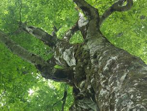 ブナの巨木 マザーツリー 津軽峠付近の写真素材 [FYI03369982]