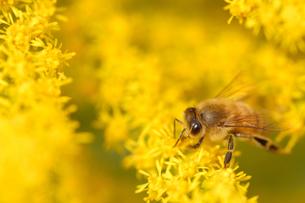 セイタカアワダチソウとミツバチの写真素材 [FYI03370127]