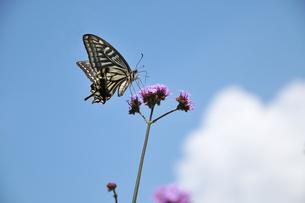 花の蜜を吸うアゲハチョウの写真素材 [FYI03370143]