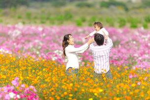 コスモス畑で遊ぶ家族の写真素材 [FYI03370305]