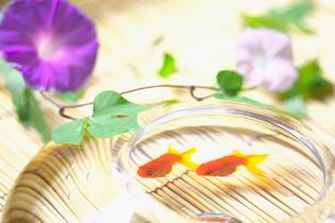 朝顔と2匹の金魚の写真素材 [FYI03370374]