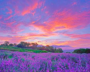 信州国際音楽村のラベンダー畑と朝焼けと浅間山遠望の写真素材 [FYI03370856]