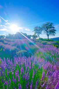 信州国際音楽村のラベンダー畑と木立と朝の光芒の写真素材 [FYI03370879]