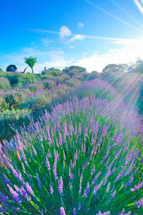 信州国際音楽村のラベンダー畑と木立と朝の光とホルンのオブジェの写真素材 [FYI03371059]
