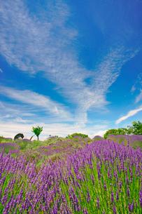 信州国際音楽村のラベンダー畑と木立とホルンのオブジェの写真素材 [FYI03371150]