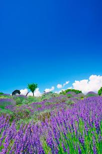 信州国際音楽村のラベンダー畑と木立とホルンのオブジェの写真素材 [FYI03371186]