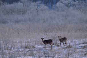 エゾシカと霧氷付く釧路湿原の写真素材 [FYI03371373]