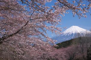 岩本山公園の桜と富士山の写真素材 [FYI03371430]